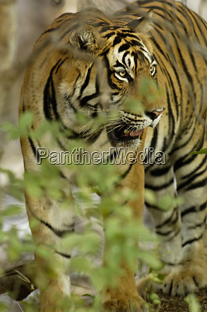 tiger panthera tigris 3 12 year