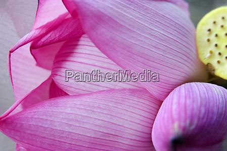 pink lotus petal bud close up