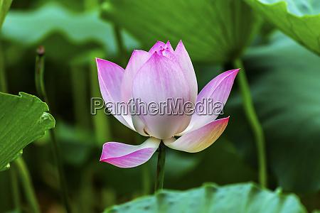 pink lotus blooming and close up