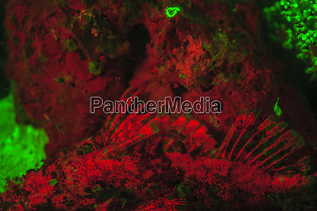 red fluorescing scorpionfish scorpaenopsis oxycephala surrounded