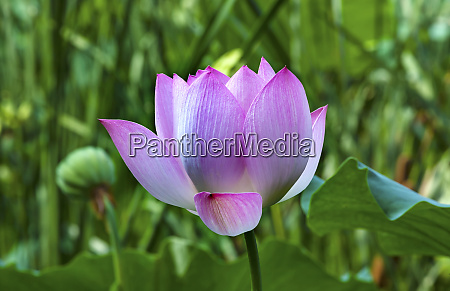 pink lotus flower lily pads close
