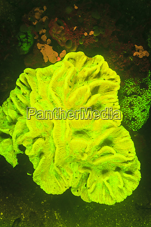 scleractinia hard coral pectinia lactuca near
