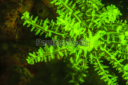natural occurring fluorescence in underwater branching
