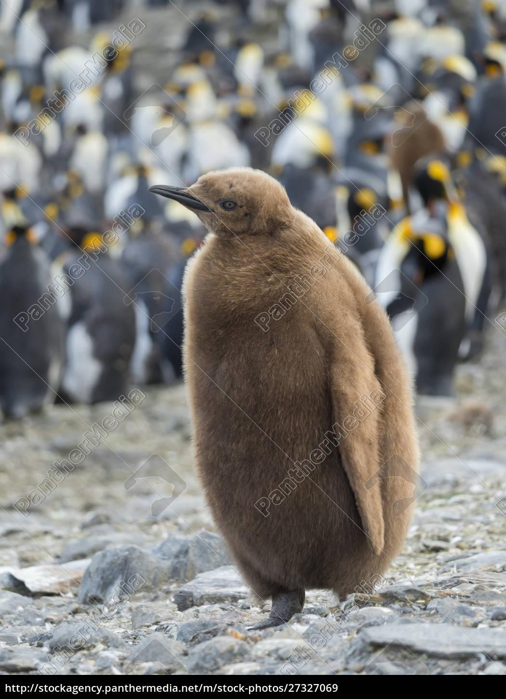 king, penguin, (aptenodytes, patagonicus), on, the - 27327069