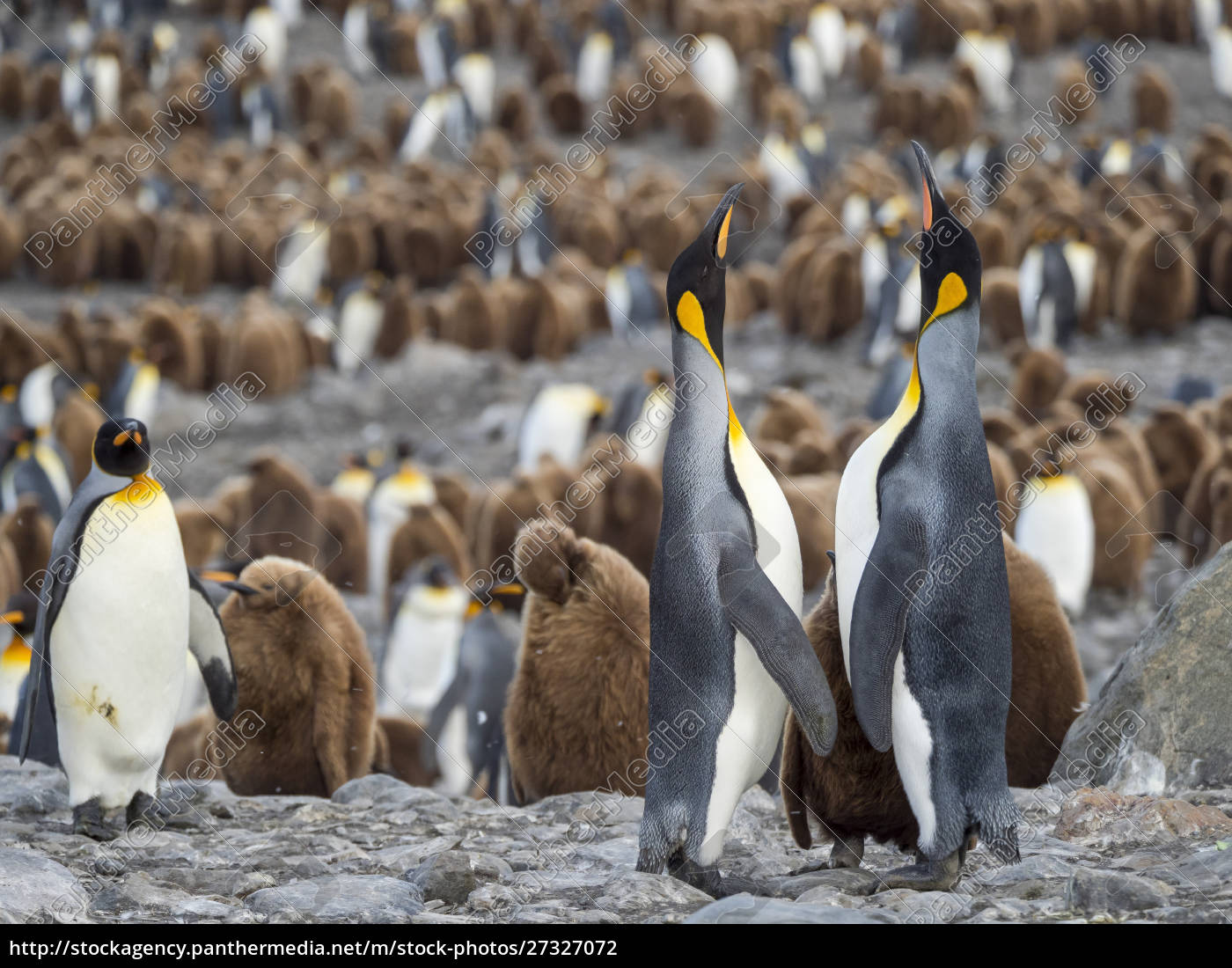 king, penguin, (aptenodytes, patagonicus), on, the - 27327072