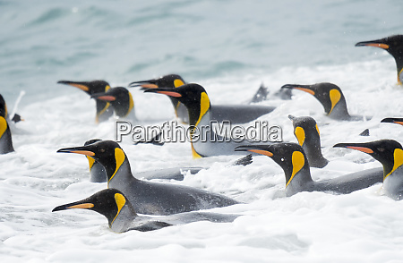 king, penguin, (aptenodytes, patagonicus), on, the - 27327102