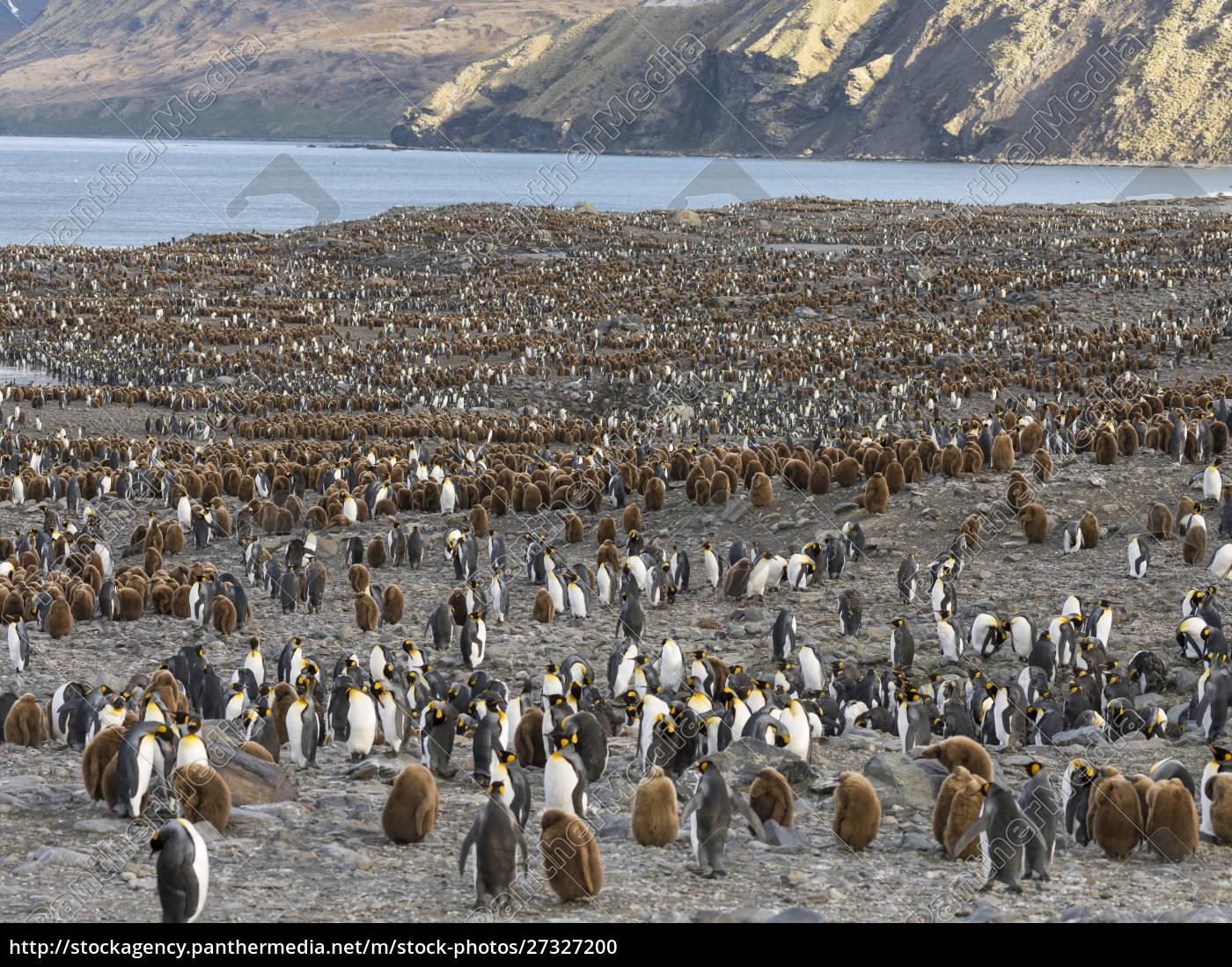king, penguin, (aptenodytes, patagonicus), on, the - 27327200