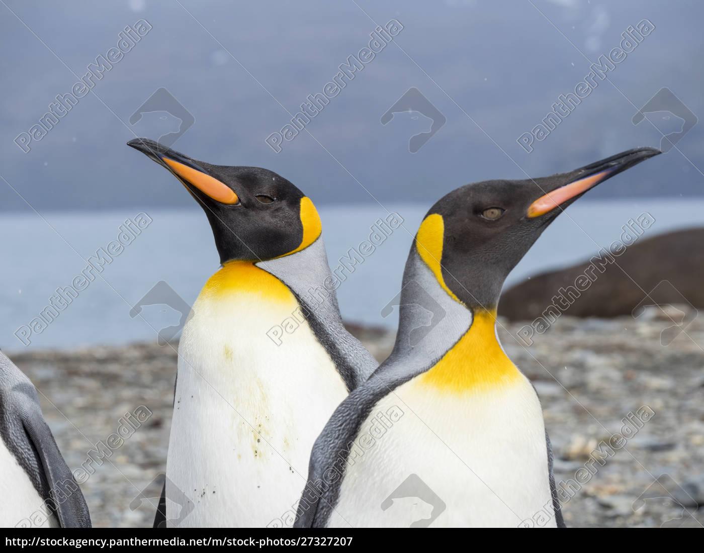 king, penguin, (aptenodytes, patagonicus), on, the - 27327207
