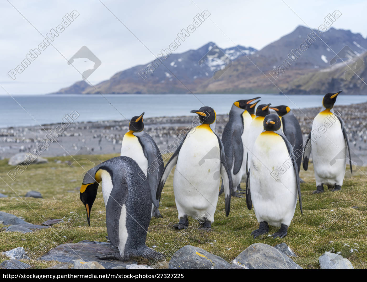 king, penguin, (aptenodytes, patagonicus), on, the - 27327225