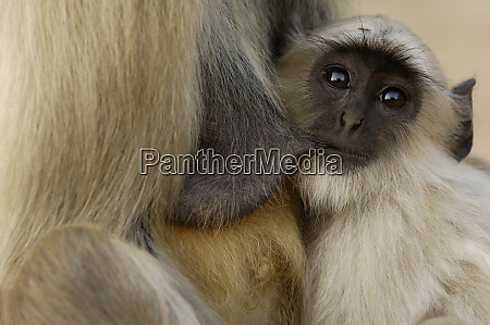 hanuman langur or black faced common