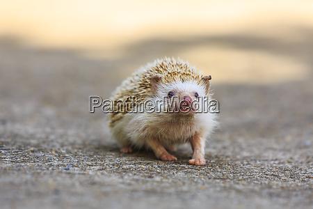 hedgehog koh samui thailand
