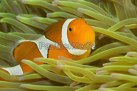 false clown anemonefish amphiprion ocellaris new