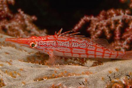 longnose hawkfish oxycirrhites typus banda sea