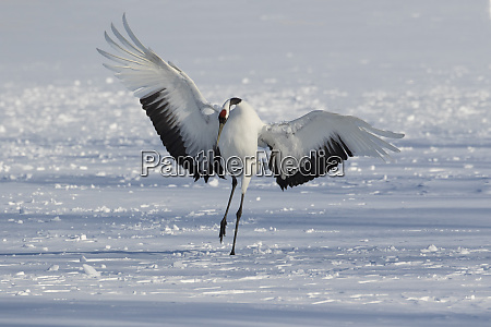 rare red crowned crane of northern