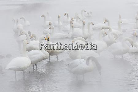 whooper swans on frozen lake kussharo