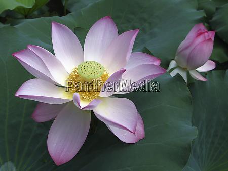 macau lotus and bud lou lim