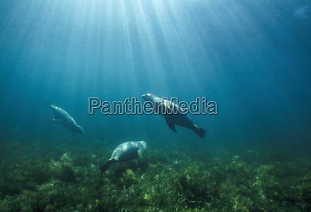endangered australian sea lion neophoca cinerea