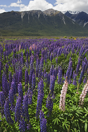 new zealand wild lupine flowers and