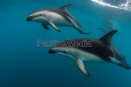 a pod of dusky dolphins lagenorhynchus