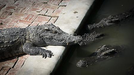 cambodia siem reap crocodiles at crocodile