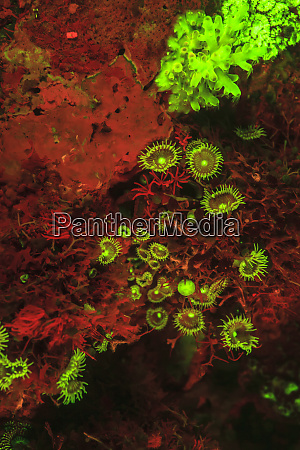 natural, occurring, red, fluorescing, sponges, (leucetta - 27328454