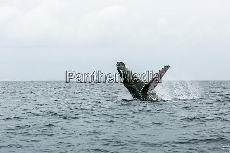a humpback whale performs a breach