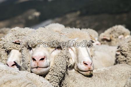 a heard of merino sheep huddle