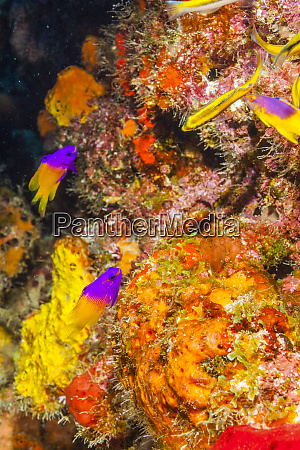 northern bahamas caribbean colorful fairy basslet