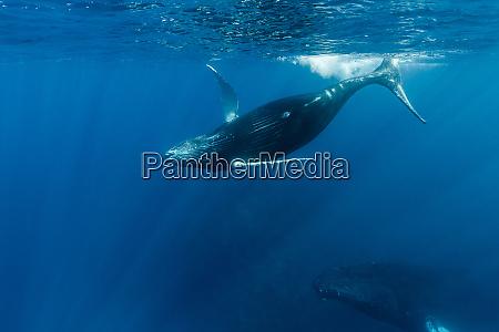 a humpback whale calf plays near