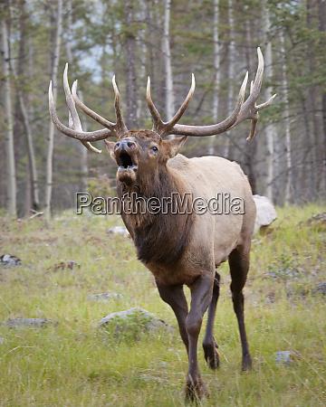 canada alberta jasper national park bull