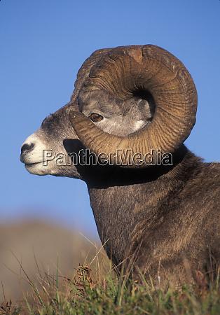 bighorn sheep ovis canadensis jasper national
