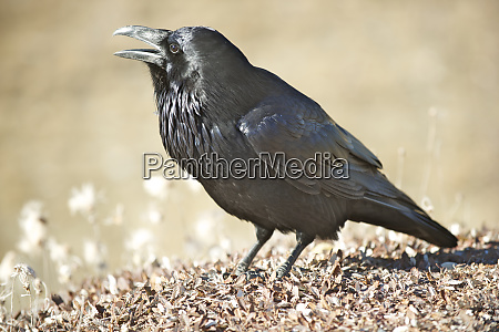 the common raven corvus corax also
