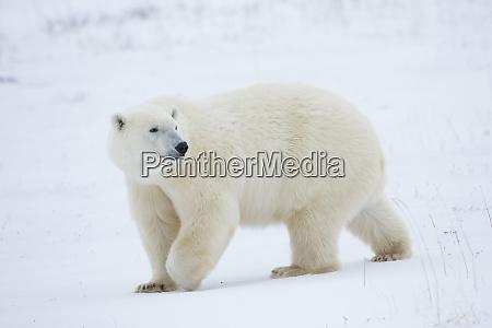 polar bear ursus maritimus in churchill