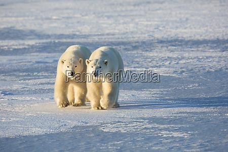 polar bears ursus maritimus in churchill