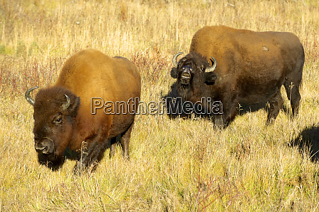 wood bison in northern bc the