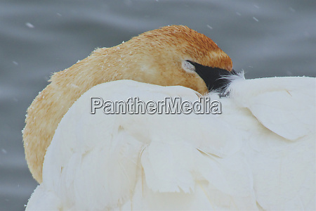 trumpeter swan on river in winter