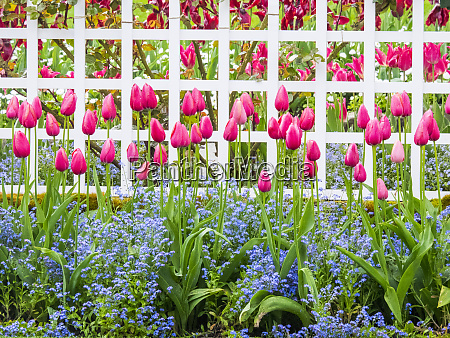 white fence with tulips and forget