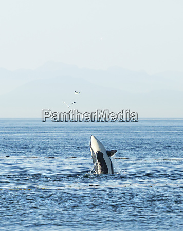 breaching orca orcinus orca at boundary