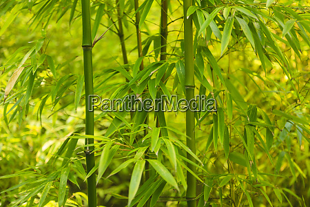 bamboo plants growing in british columbia