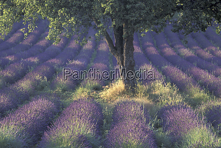 europe france provence sault lavender fields
