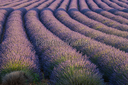 europe france rows of lavender in