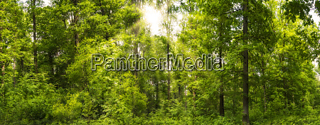 forest panorama in the spring with