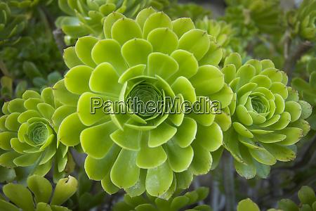 mykonos greece succulent plant