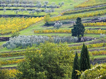 europe italy tuscany rows of vines
