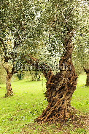 italy old mediterranean olive trees the