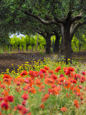 poppies olive groves and vineyards in
