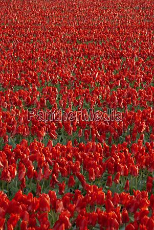 tulip flower fields in famous lisse