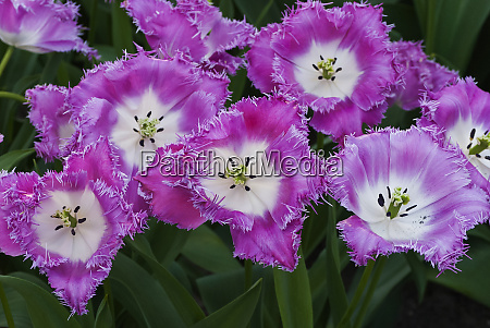 deep pink and white tulips