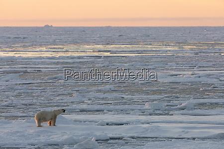 norway svalbard spitsbergen polar bear on