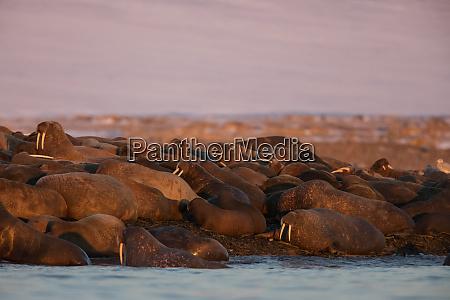 norway svalbard kvitoya walruses lie on